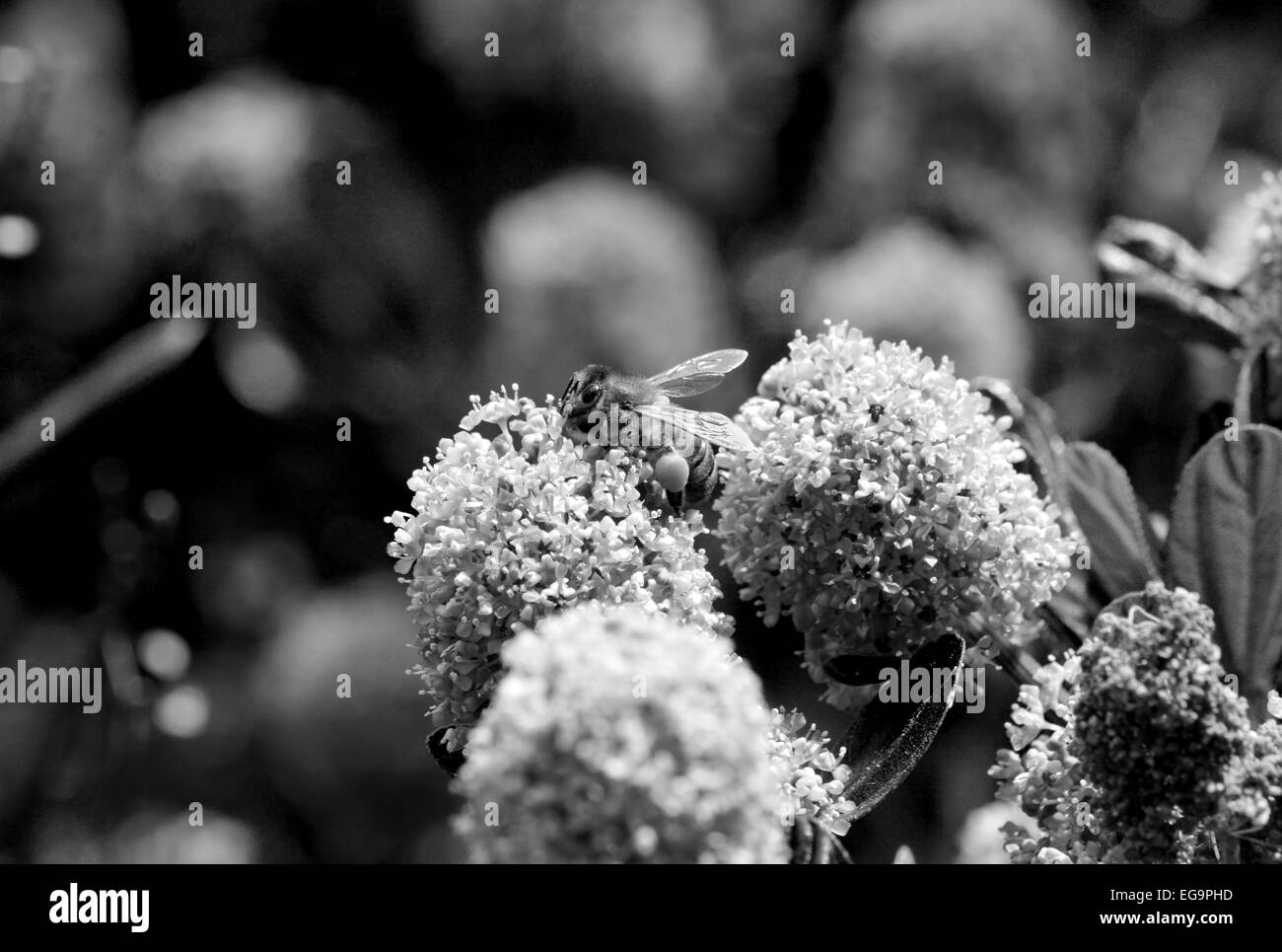 Macro of a honey bee with full corbiculas on a ceanothus flower - monochrome processing - Stock Image