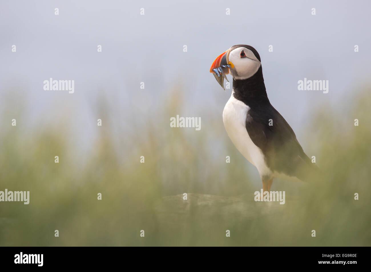 Atlantic puffin. Farne Islands, Northumberland UK Stock Photo