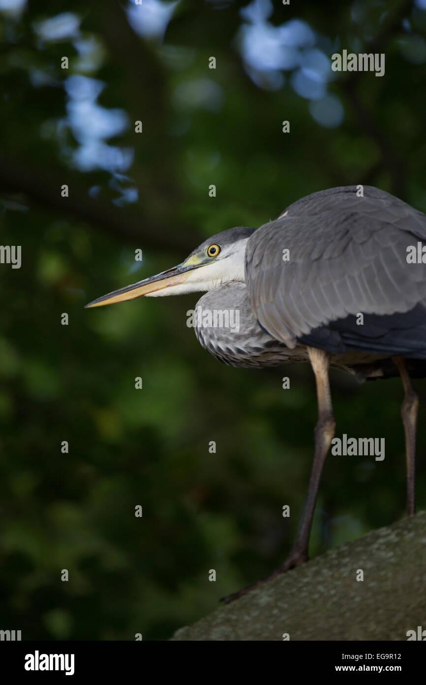 Grey heron in tree. Richmond Park, London UK - Stock Image