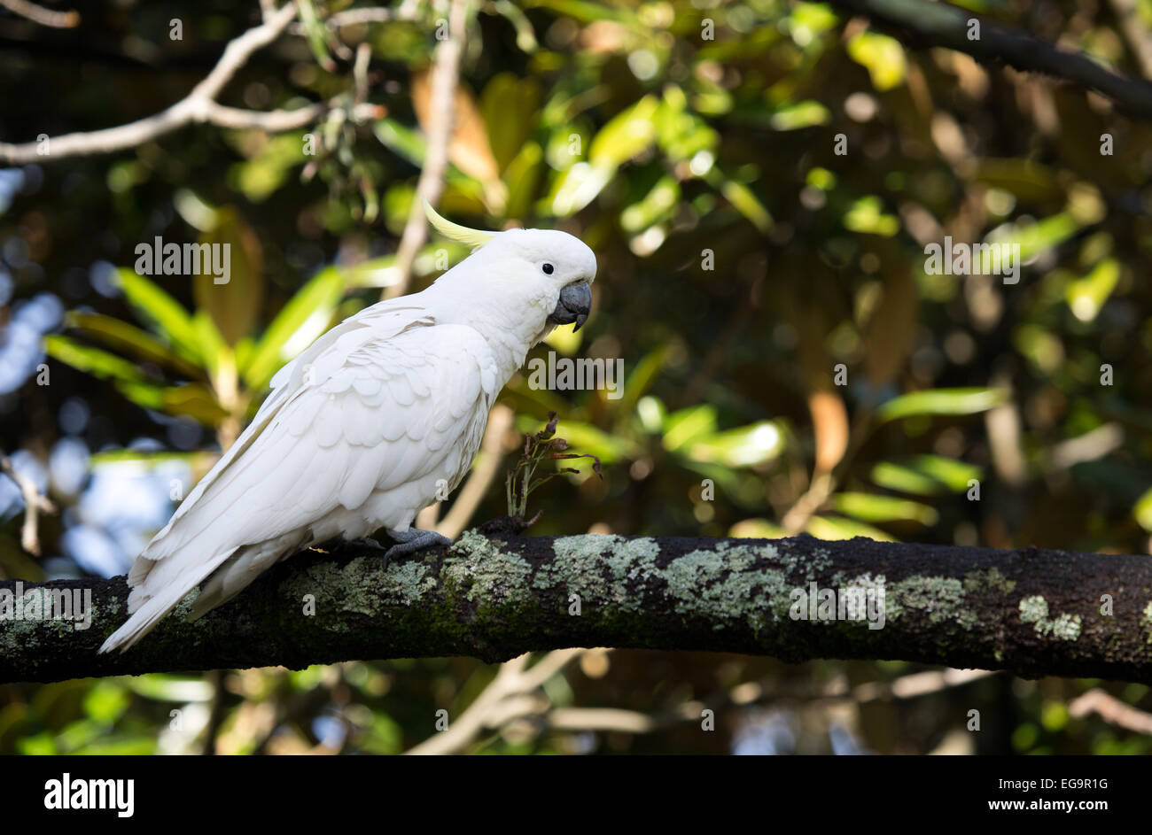 Sulphur-crested cockatoo - Stock Image