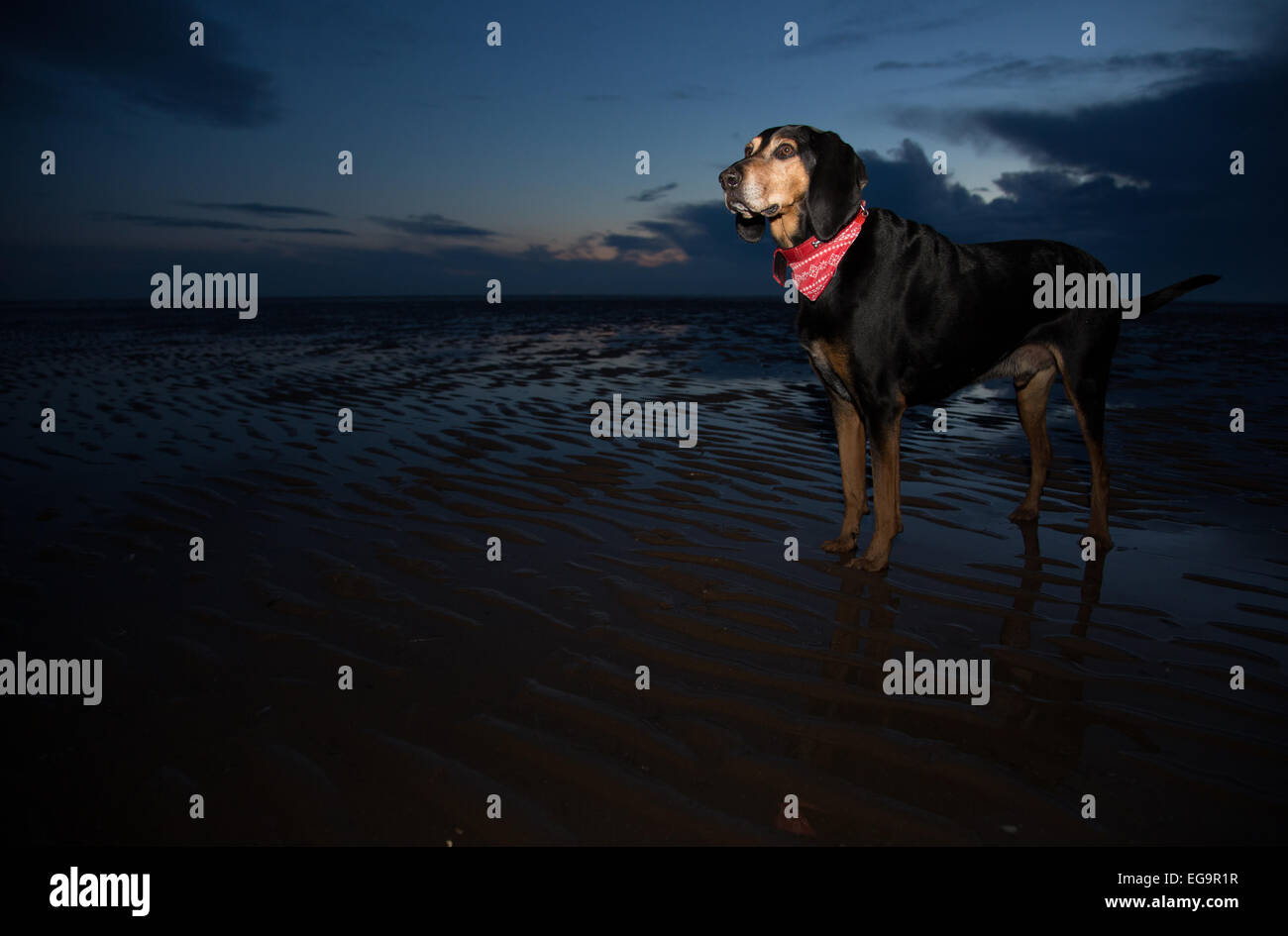 Black and Tan Coonhound dog on beach in Blackpool, Uk. - Stock Image