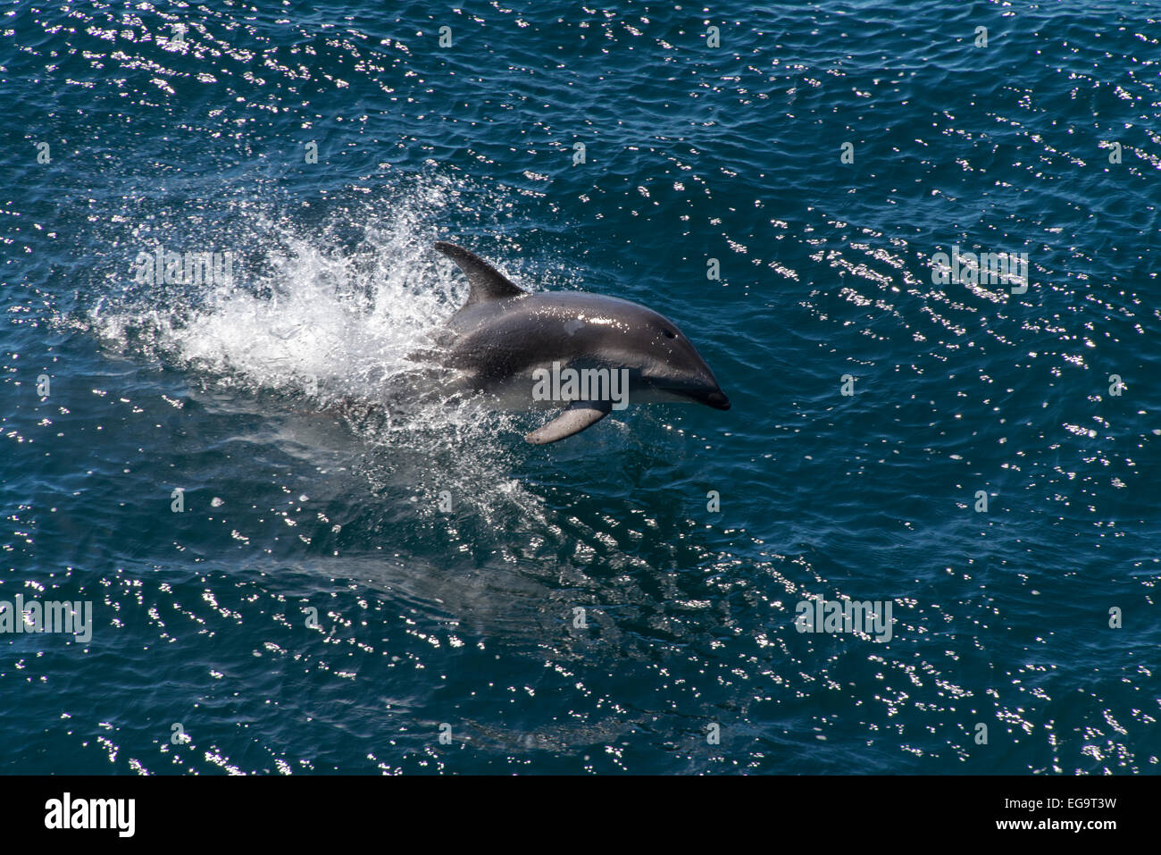 Peale's Dolphin, Lagenorhynchus australis, leaping from water - Stock Image
