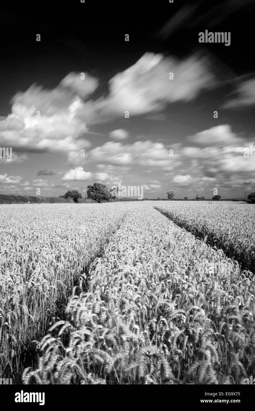 Long exposure monochrome image of a wheat field in Lambley, Nottinghamshire England UK - Stock Image