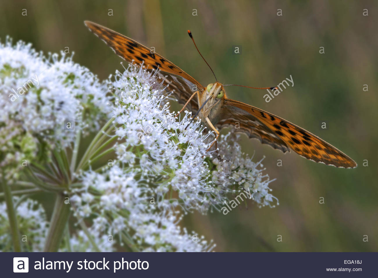 Silver-washed fritillary (Argynnis paphia) drinking nectar with proboscis from flower - Stock Image