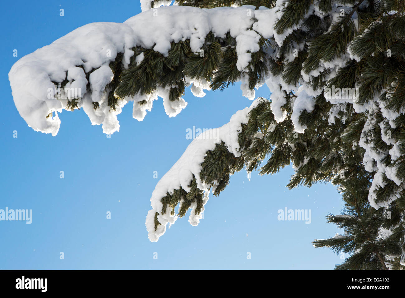 Close up of spruce tree branches laden with snow against clear blue sky - Stock Image