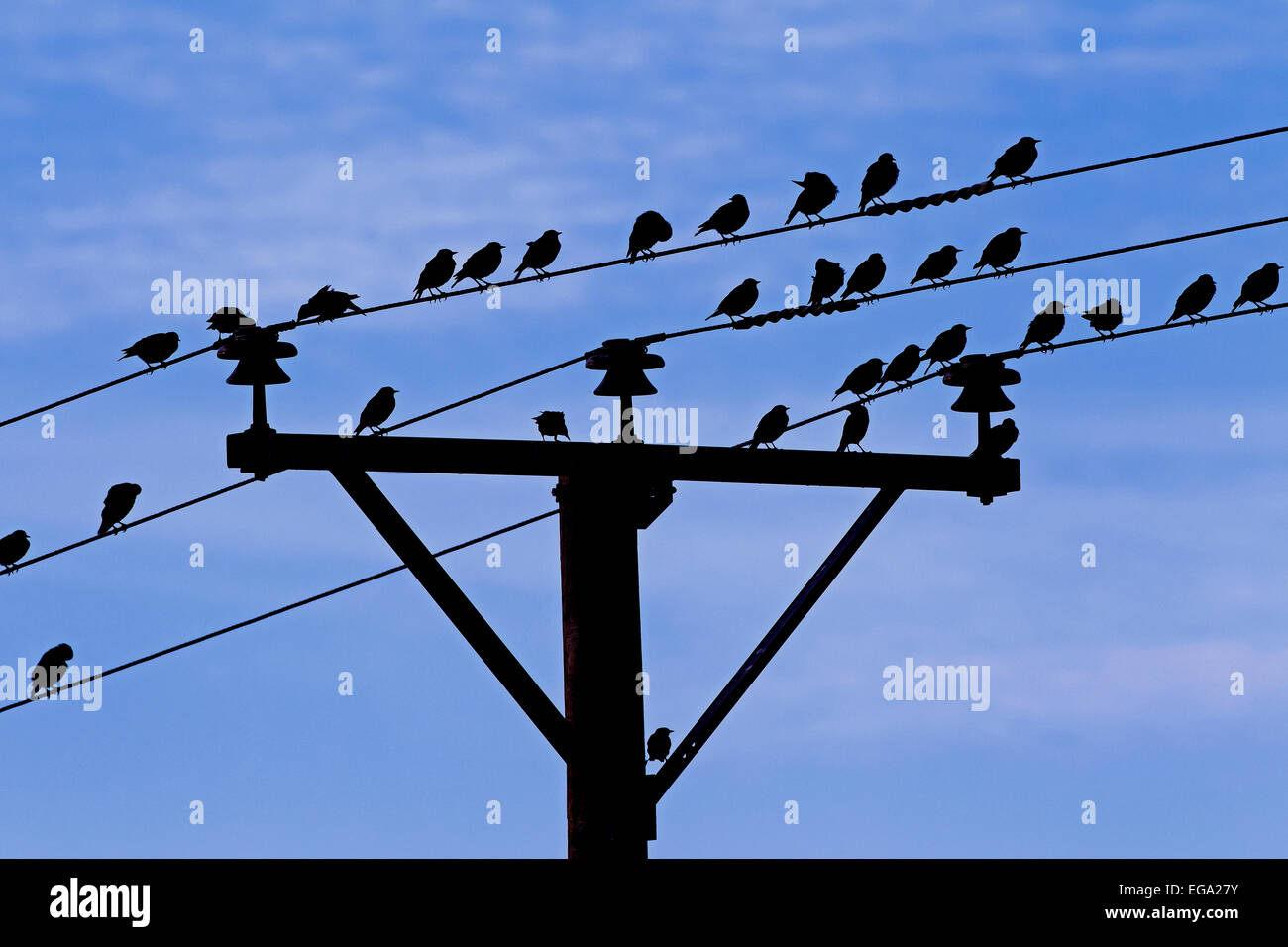 Common starlings / European starling (Sturnus vulgaris) flock congregating on wires of telephone line - Stock Image
