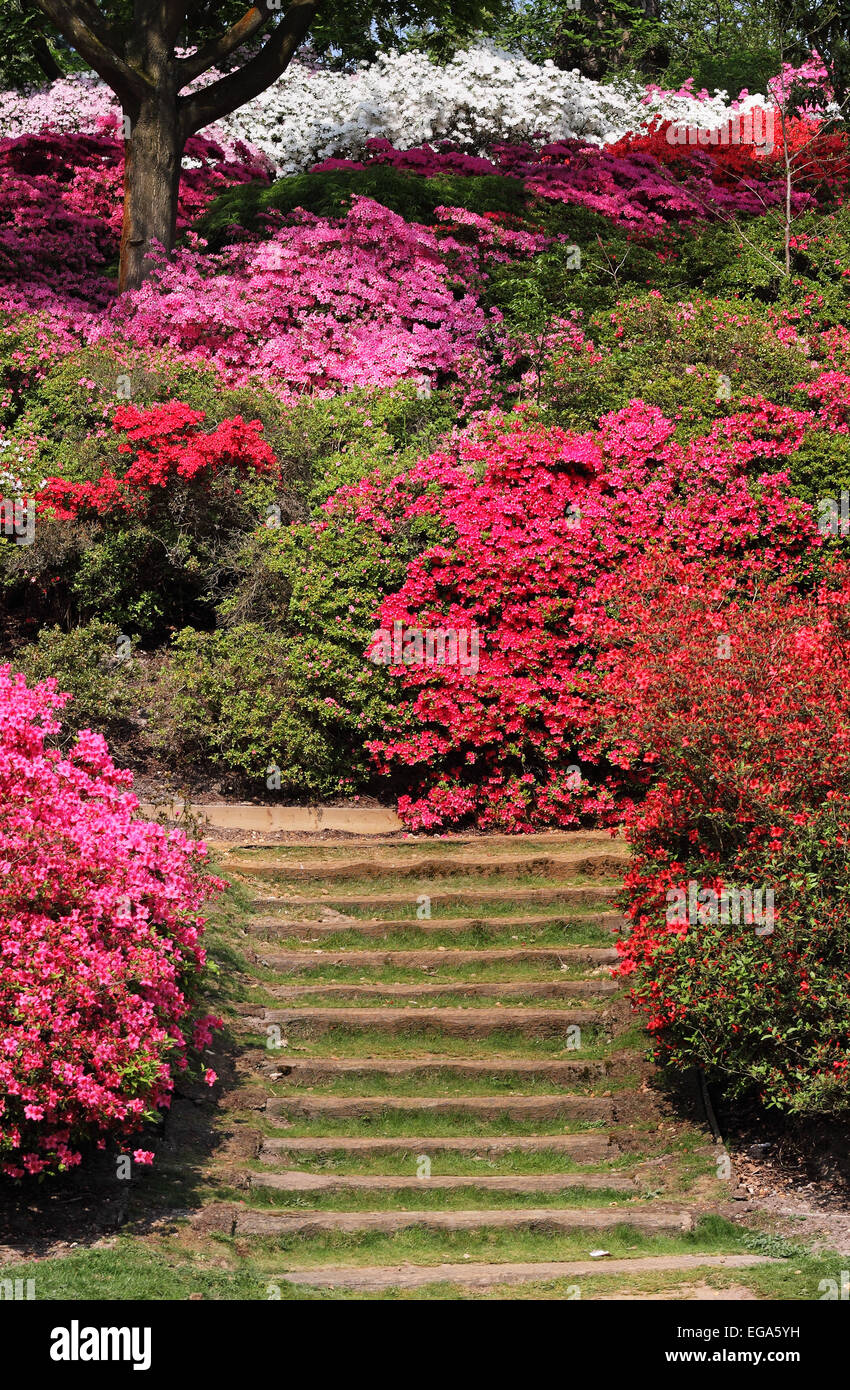 Rhododendrons and azaleas in an English Park - Stock Image