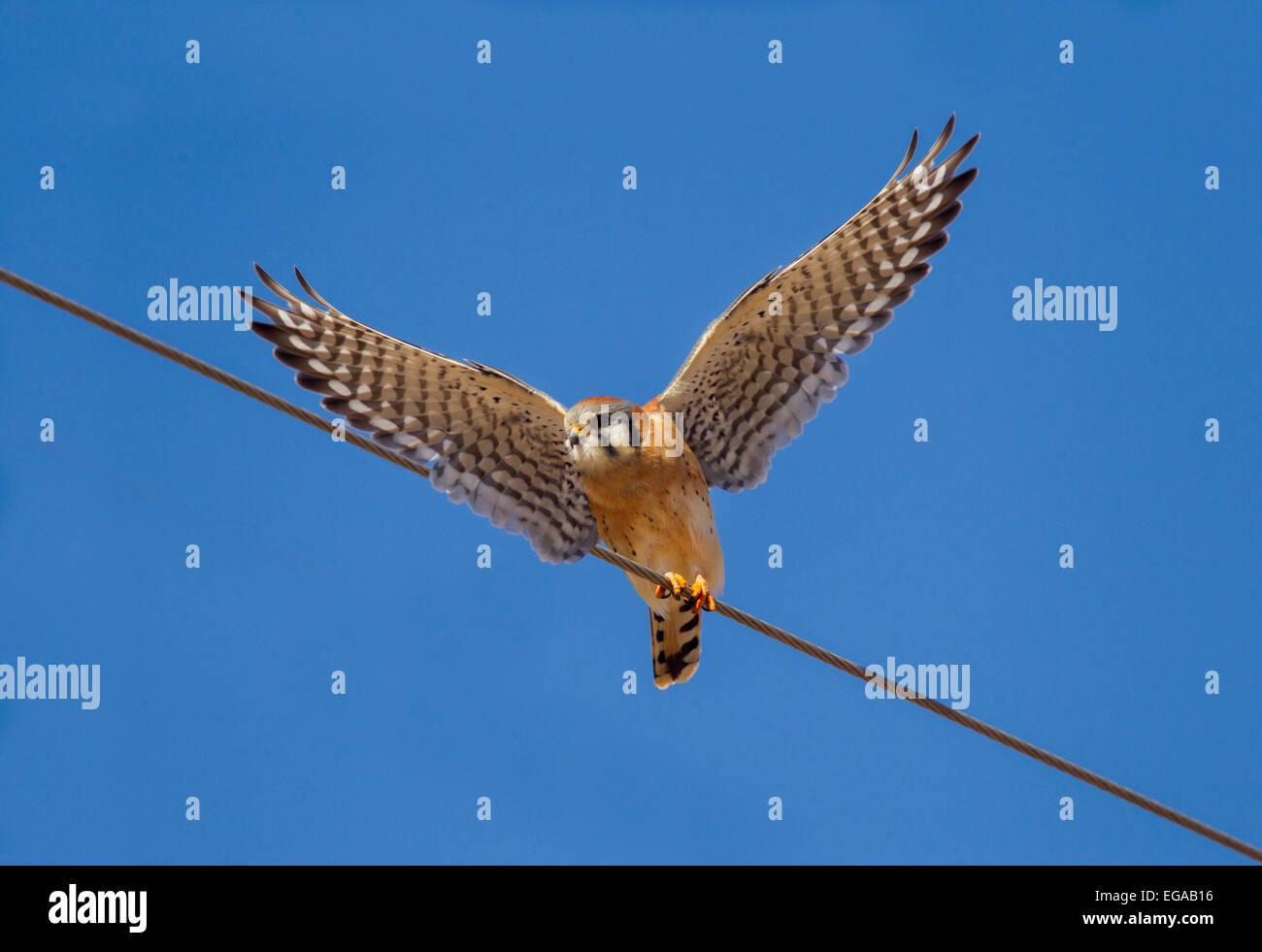 American Kestrel  Falco sparverius Mc Neal, Cochise County, Arizona, United States 9 January      Adult Male taking - Stock Image