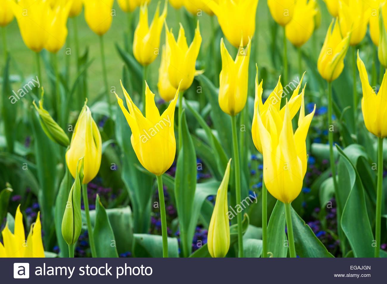 Tulipa 'West Point' - Stock Image