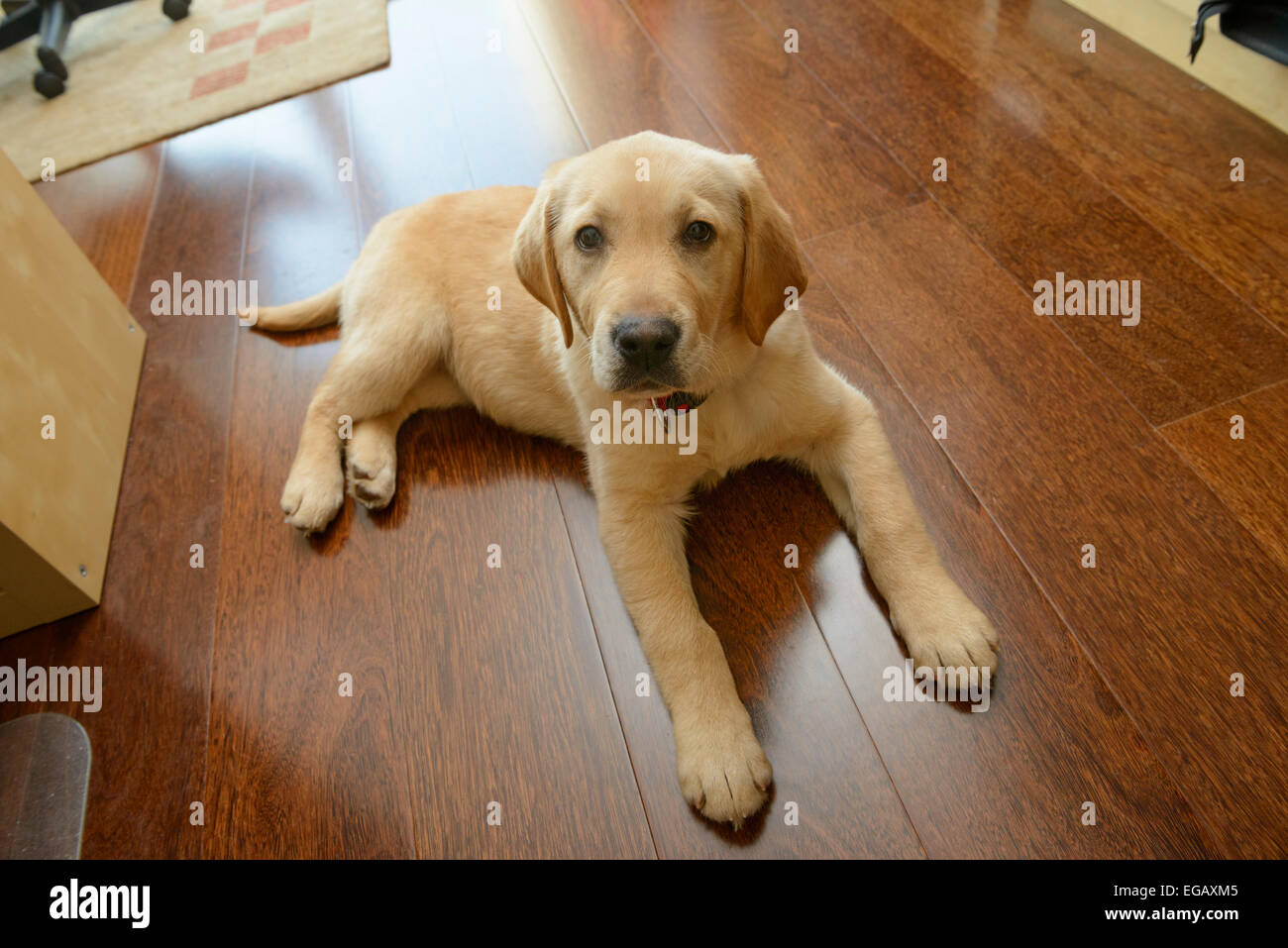 Golden Retriever Yellow Lab Mix Stock Photos Golden Retriever