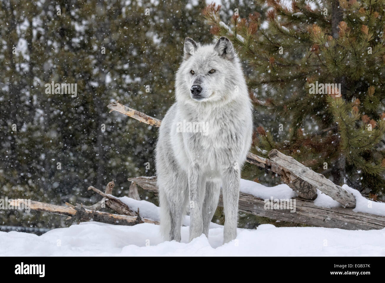 Gray Wolf - Stock Image