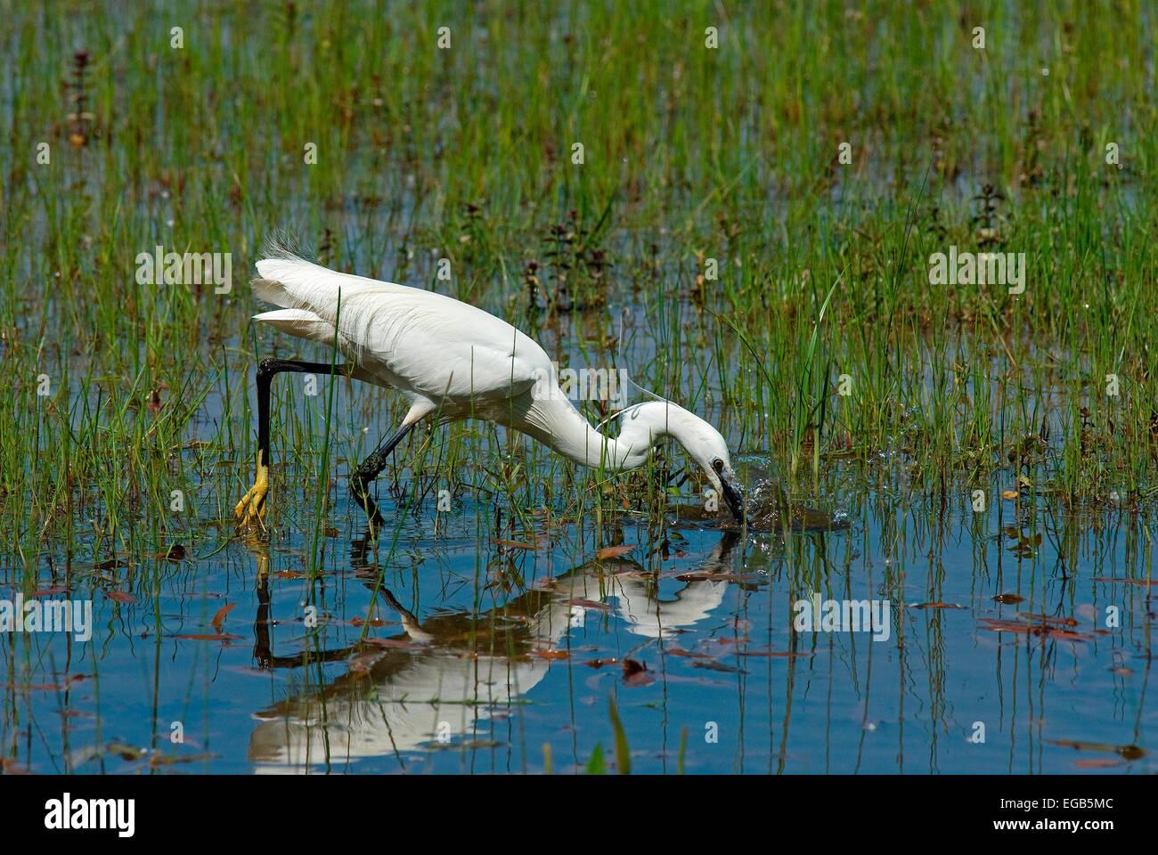 Little egret (Egretta garzetta), Lake Trasimeno, Umbria, Italy - Stock Image