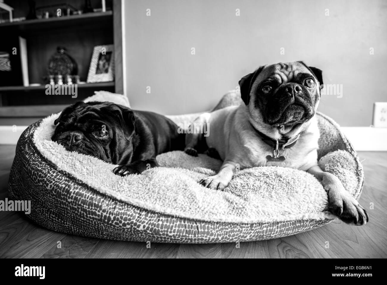 Cozy Pugs - Stock Image