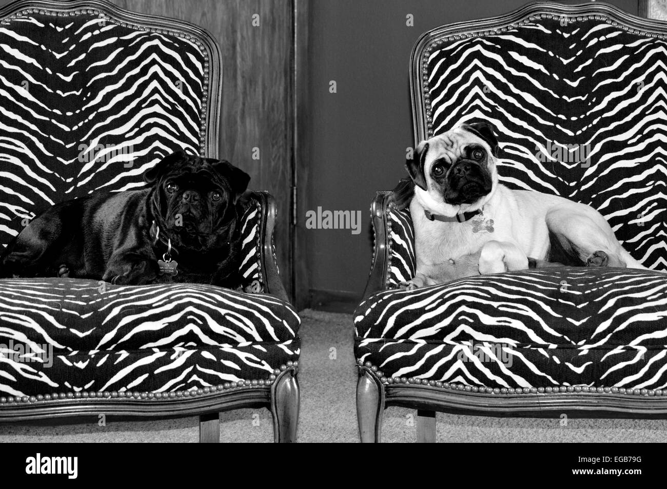 A black and fawn pug sit upon their thrones. - Stock Image