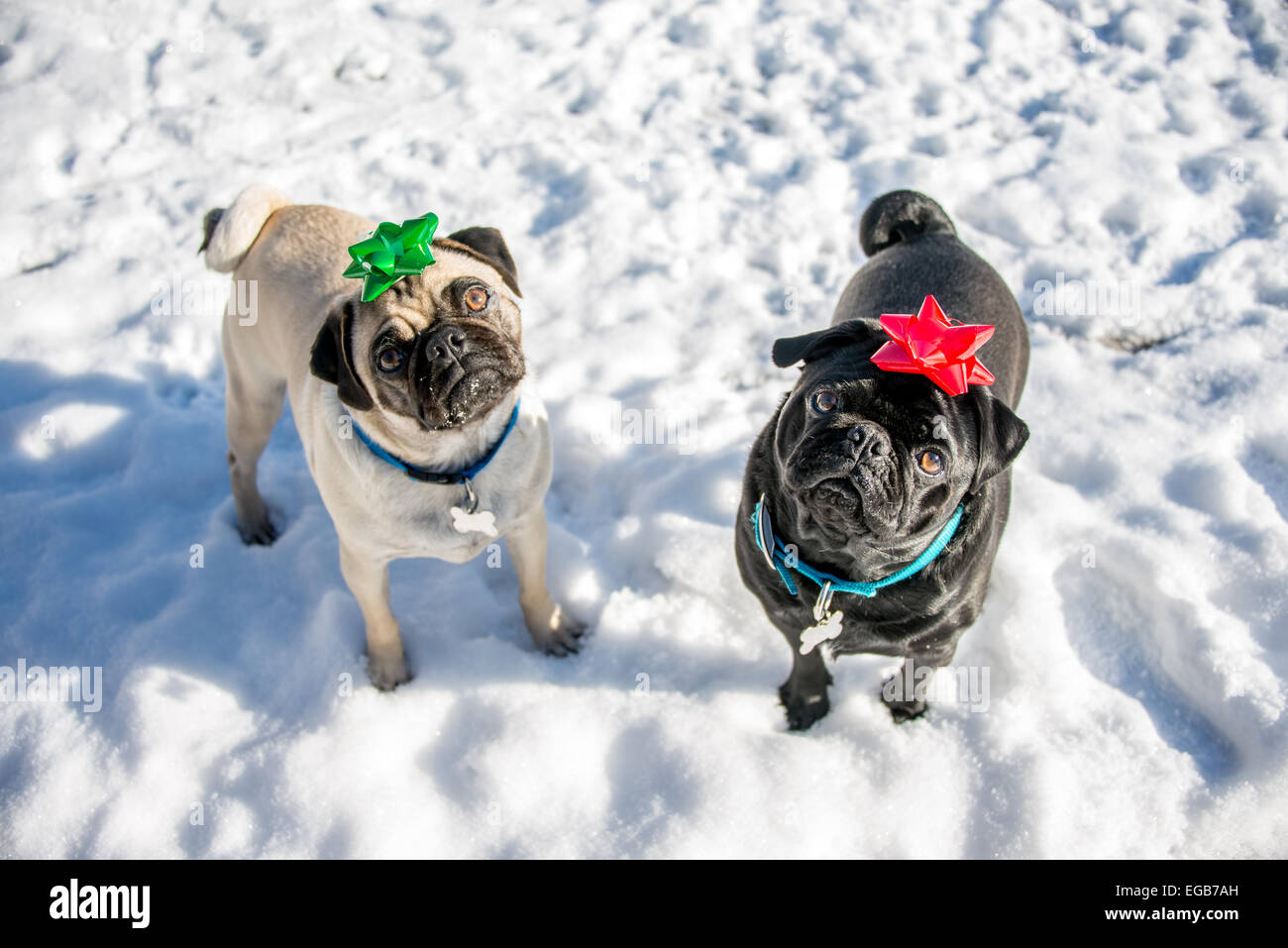 A couple of pugs wearing bows on their heads. - Stock Image