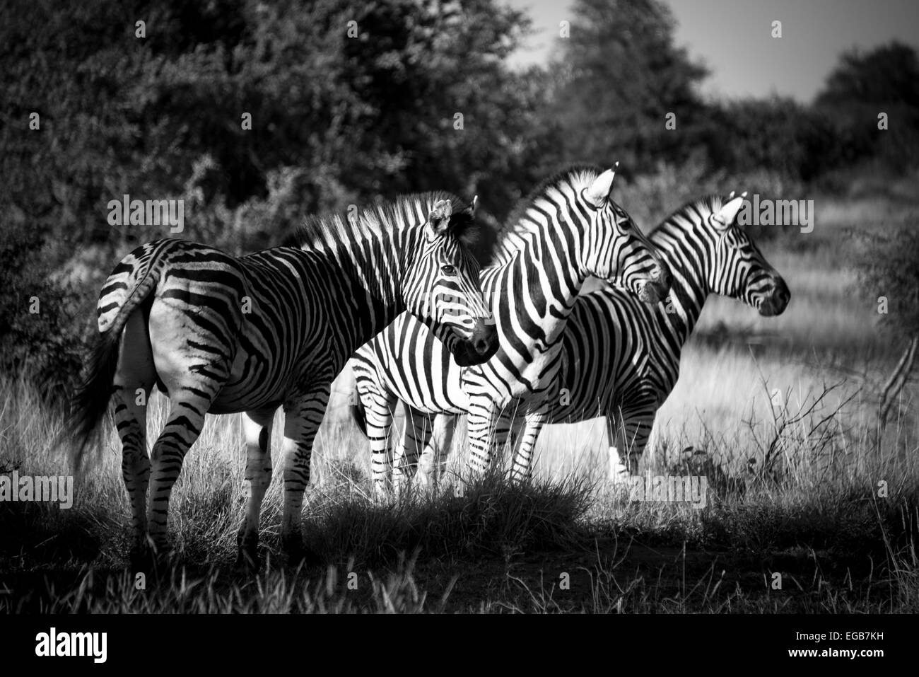 A group of three zebra basking in the evening light. - Stock Image
