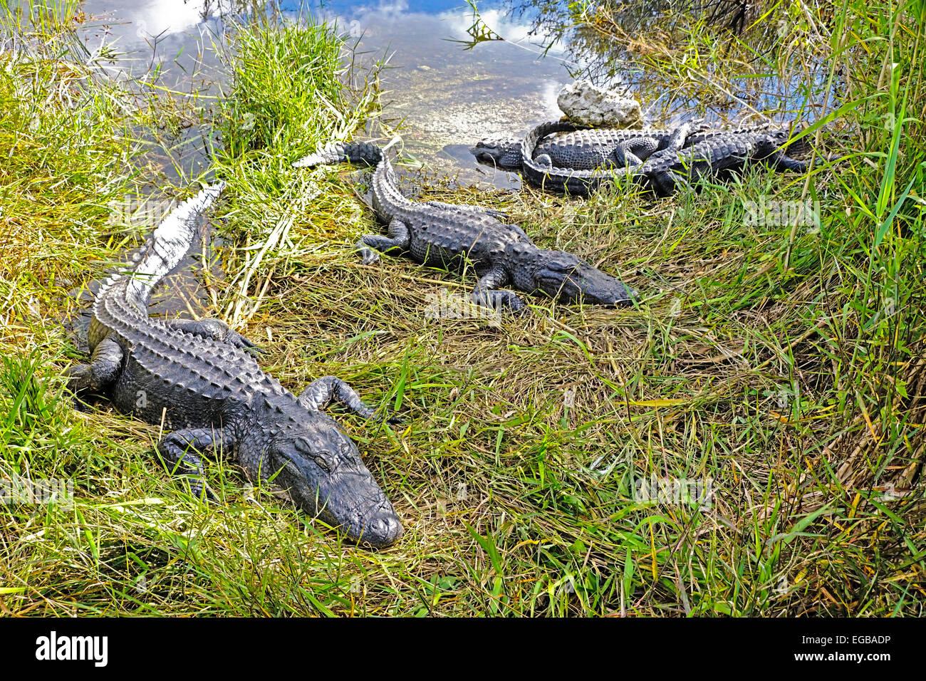 American alligators (alligator mississippiensis) at Everglades National Park, Florida. - Stock Image