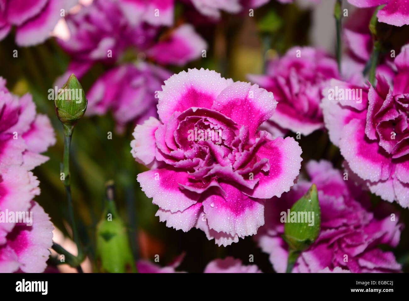 Violet Flower Flowers India Stock Photos Violet Flower Flowers