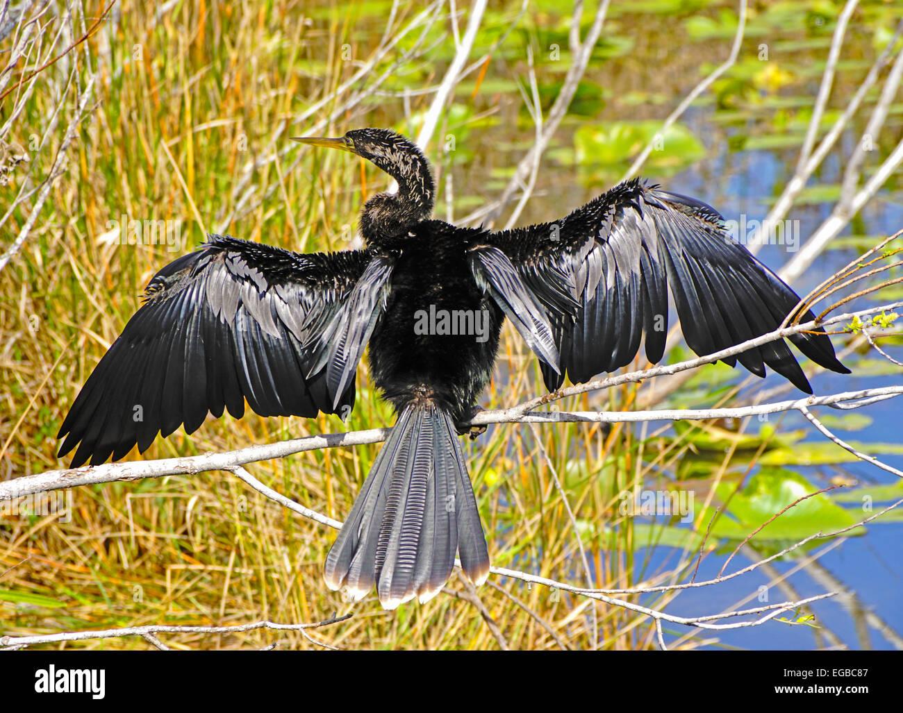 Anhinga bird on the Anhinga Trail in Everglades National Park, Florida. - Stock Image