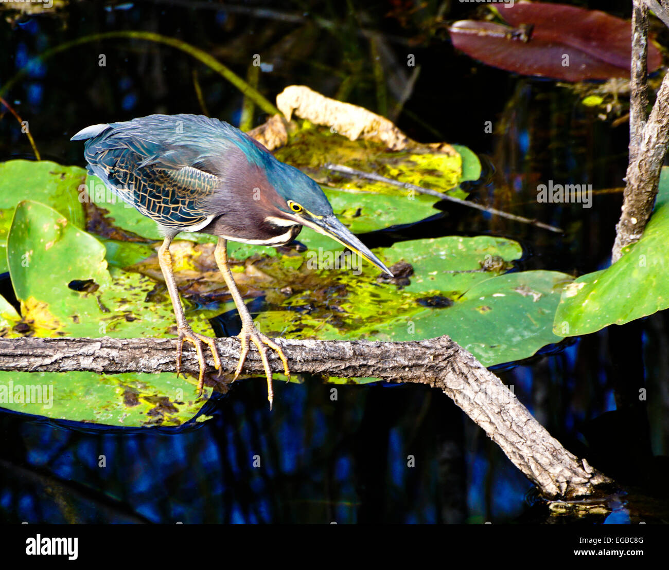 Green Heron (Butorides Virescens) in Everglades National Park, Florida. - Stock Image
