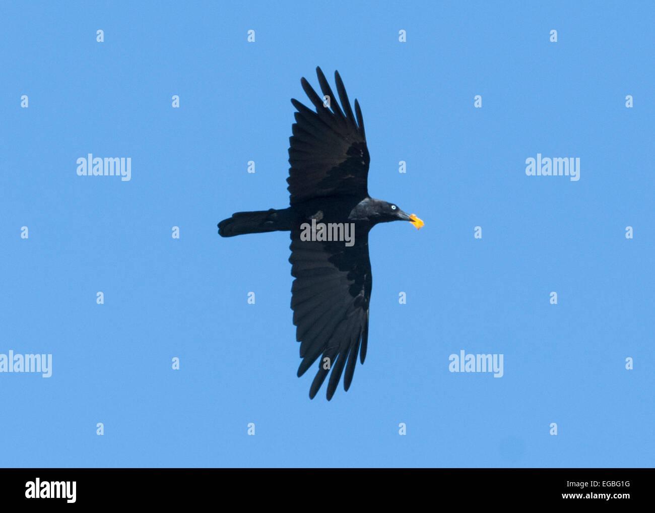 Little Raven (Corvus mellori), Wilcannia, New South Wales, Australia - Stock Image