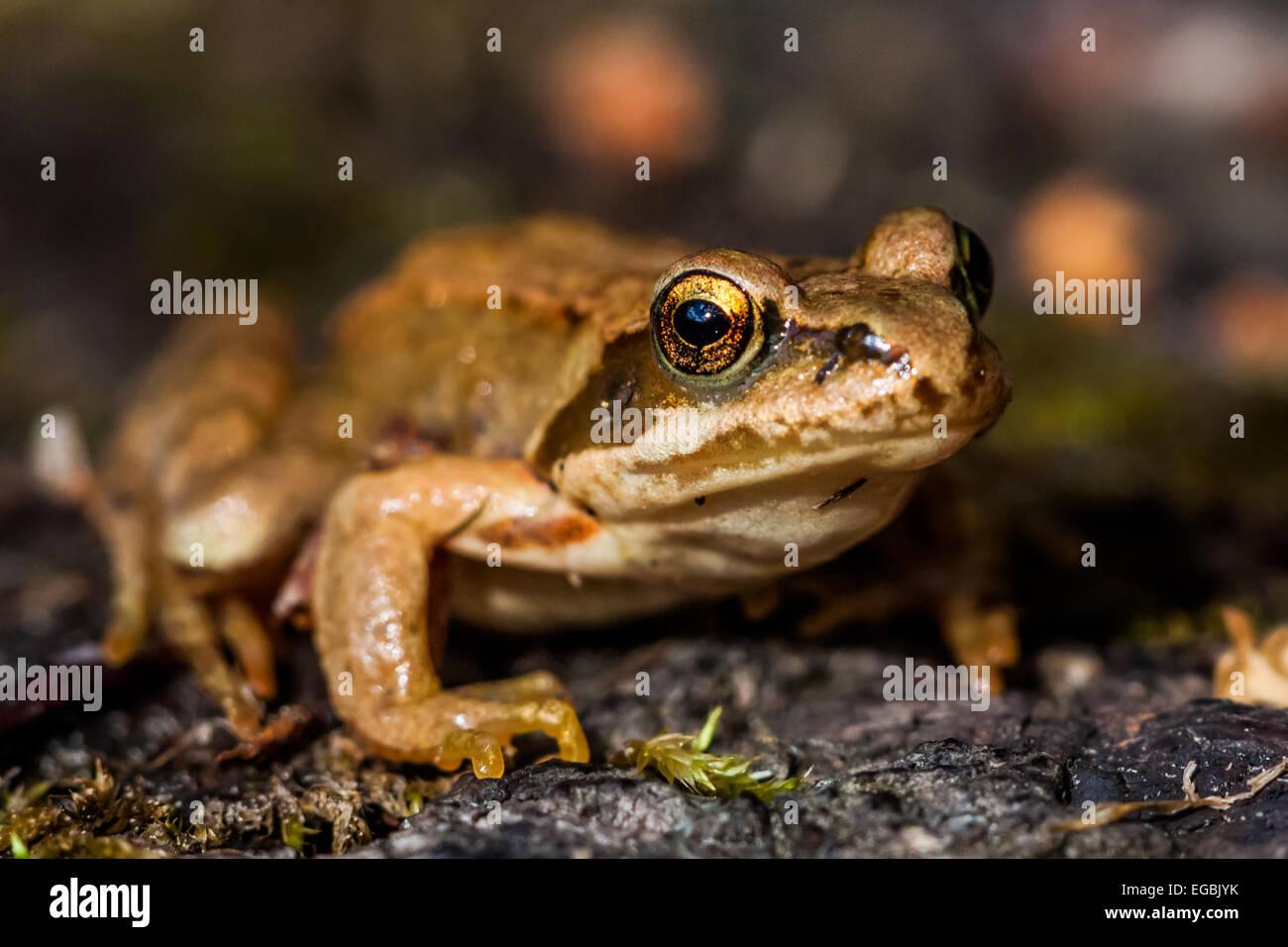 European common frog (Rana temporaria) - Stock Image