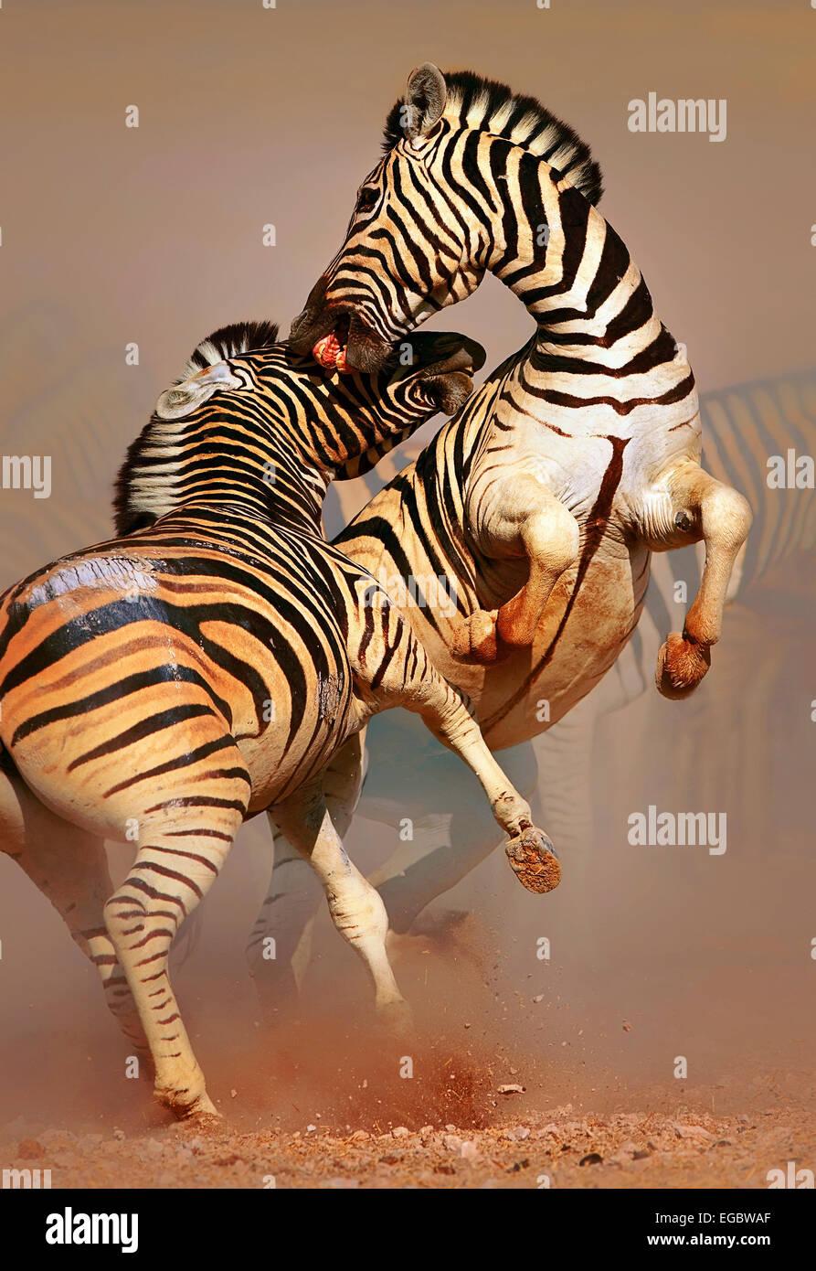Stallions (Equus burchell's) fighting and standing on hind legs -  Etosha (Namibia) - Stock Image