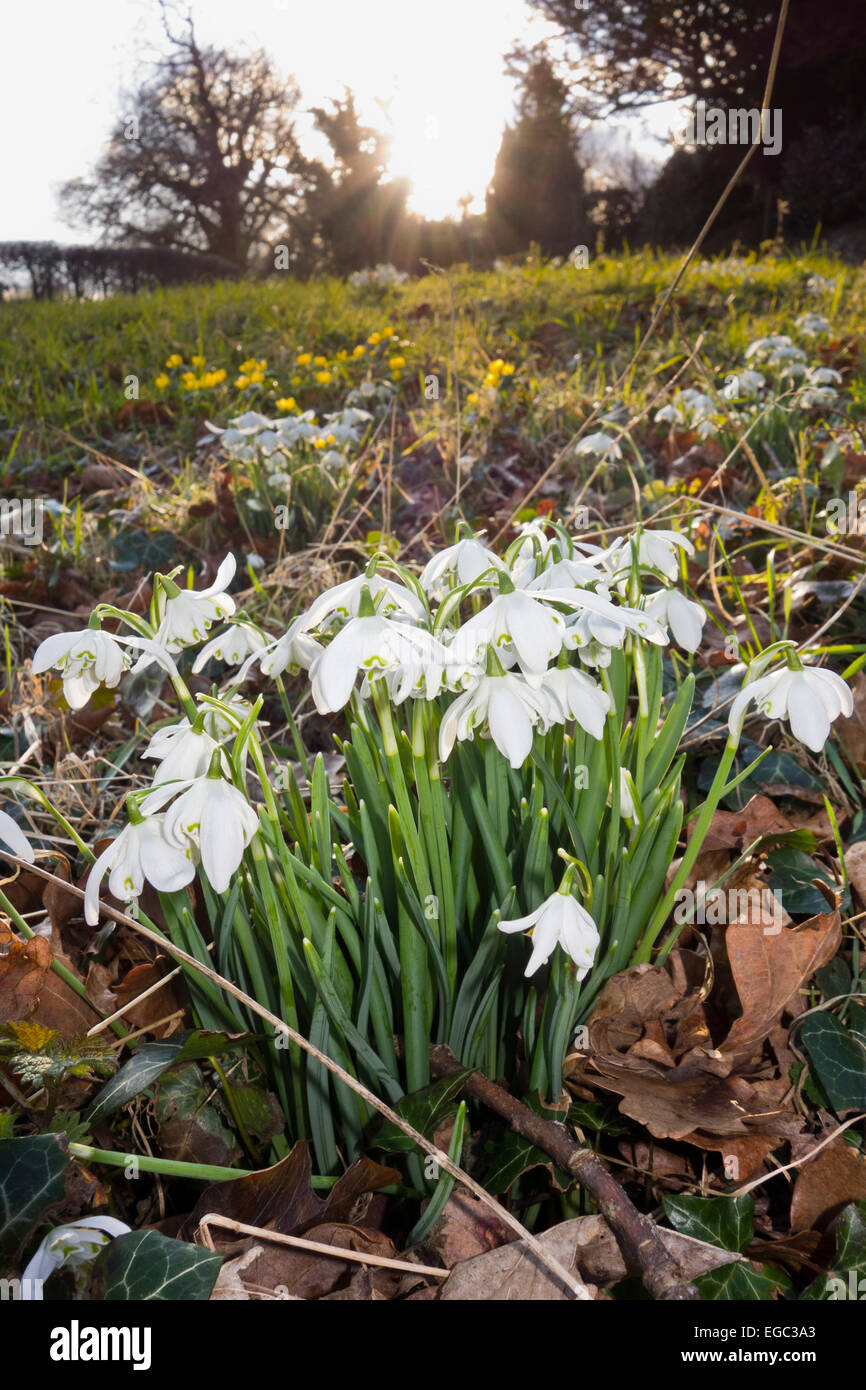 Snow drops Galanthus snowdrop in grass verge by road country lane - Stock Image