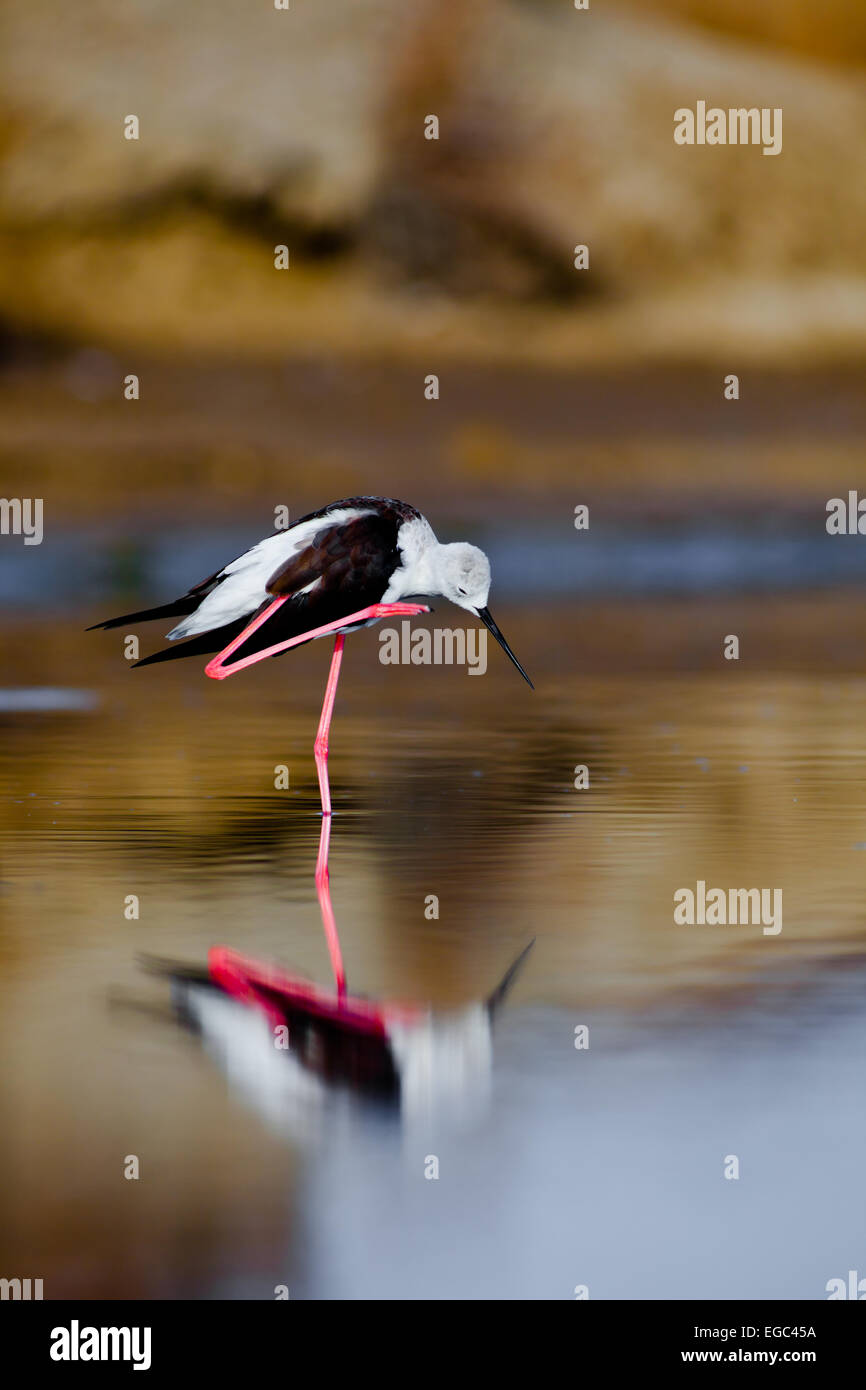 A black-winged stilt sprucing oneself up Stock Photo