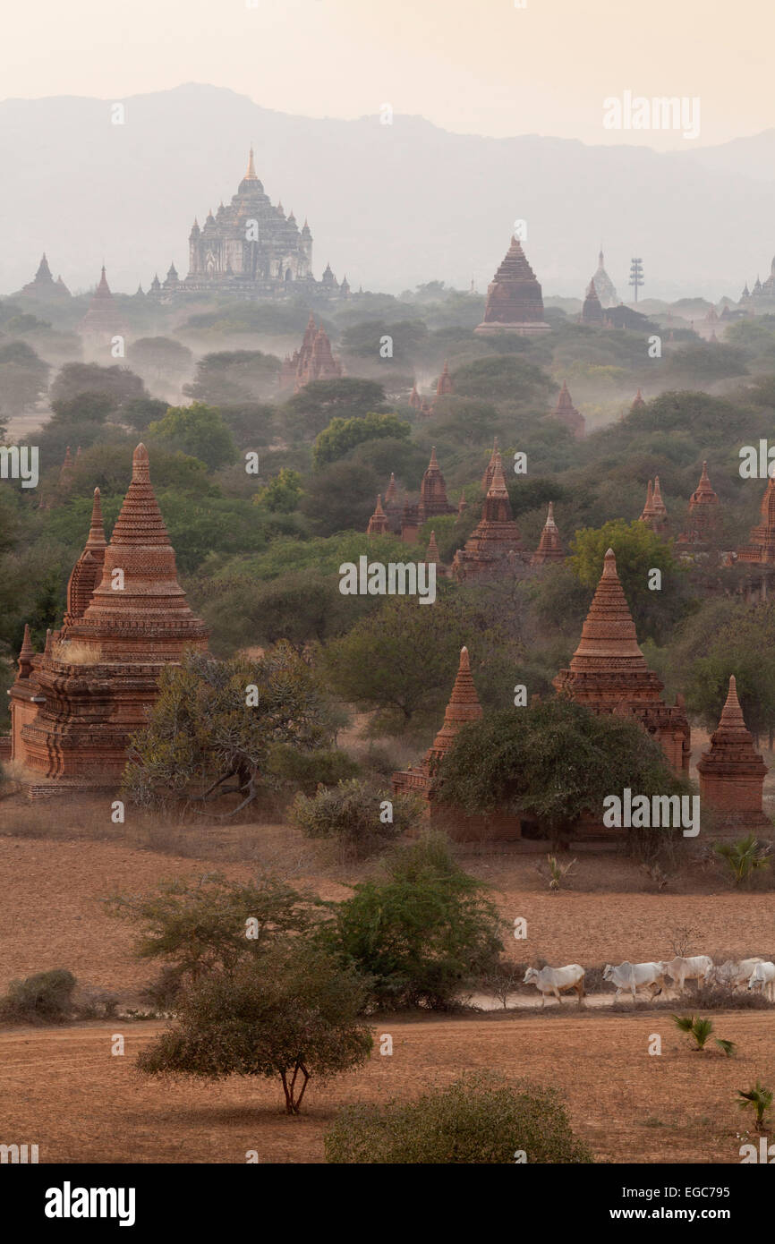 Temples and cattle at dawn, Bagan, Myanmar ( Burma  ), Asia Stock Photo