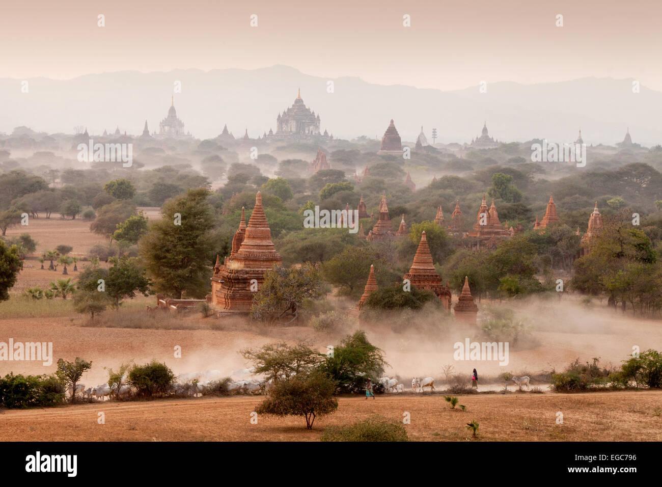A farmer herding cows among the temples and pagodas late afternoon, Bagan Plain, Myanmar ( burma ), Asia Stock Photo