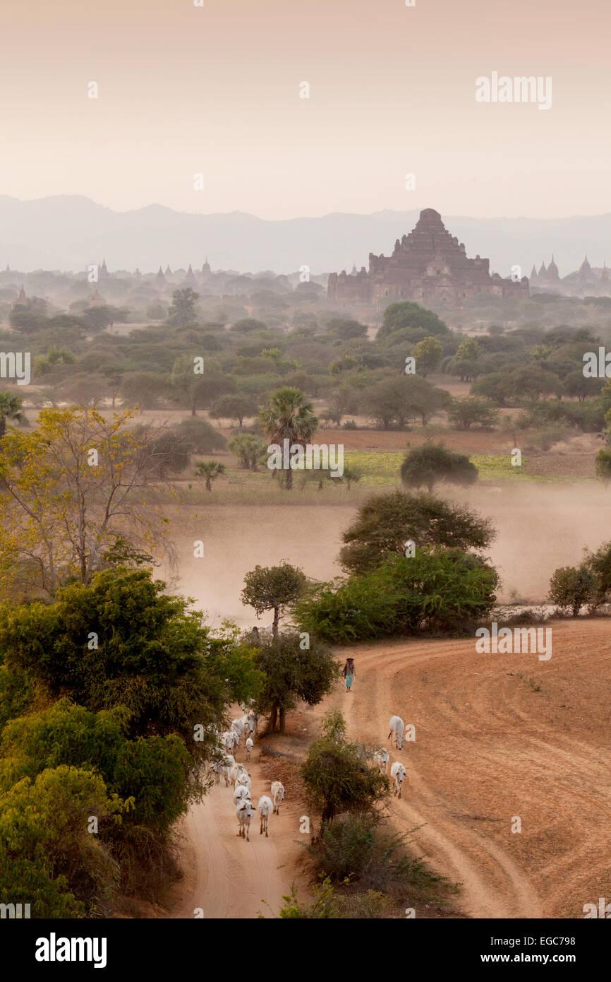 A farmer herding his cattle in the Bagan landscape, Bagan, Myanmar ( Burma ), Asia Stock Photo
