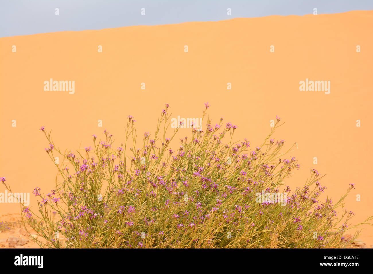 Flower on sand dune - Stock Image