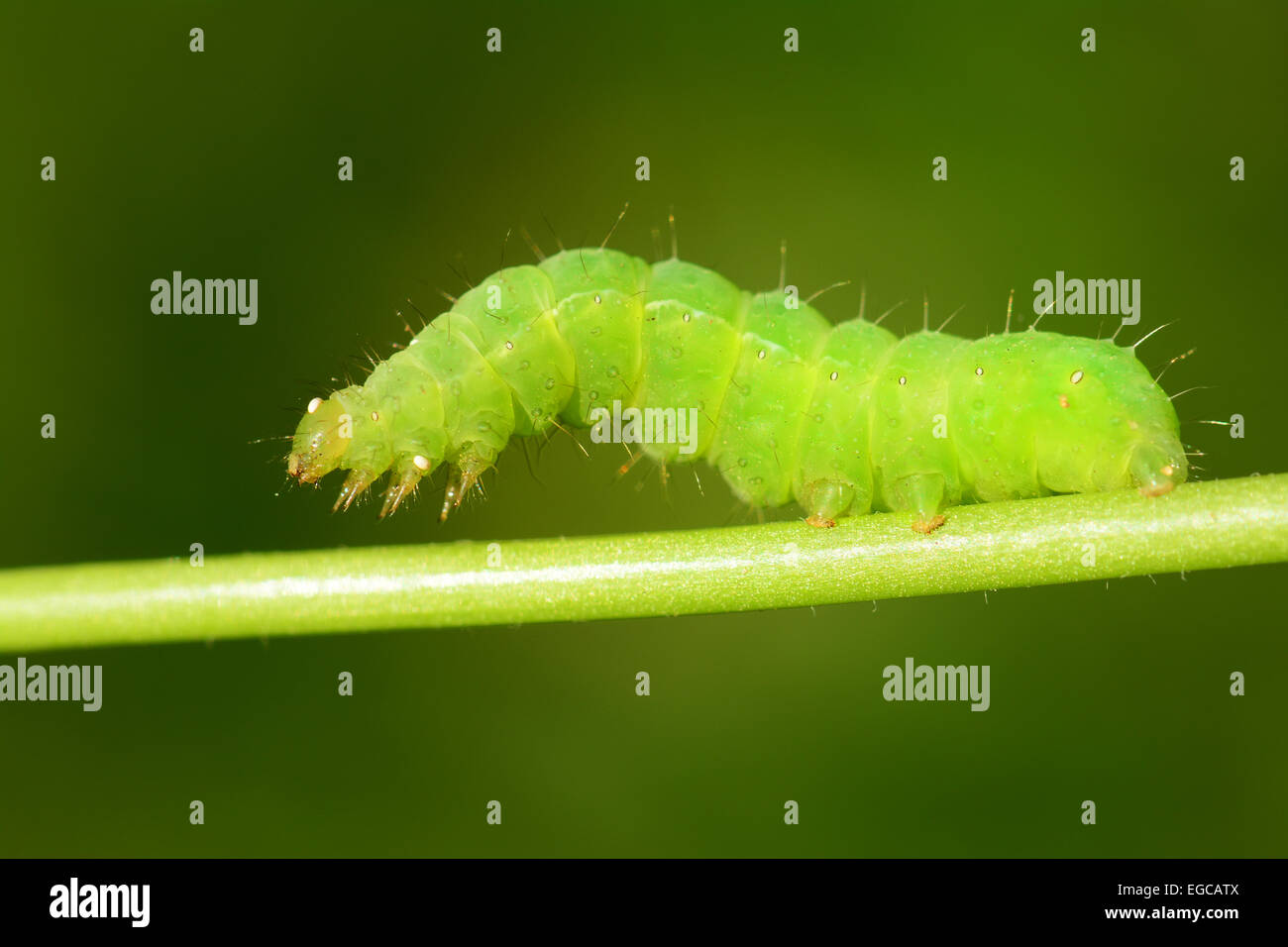 Green Caterpillar  on green stem - Stock Image