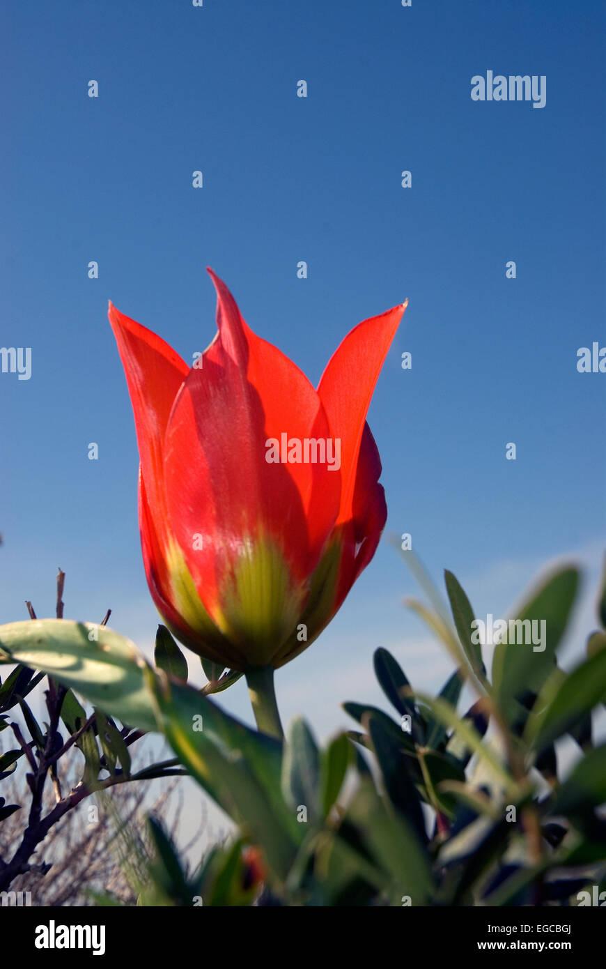 Tulipa agenensis - Stock Image