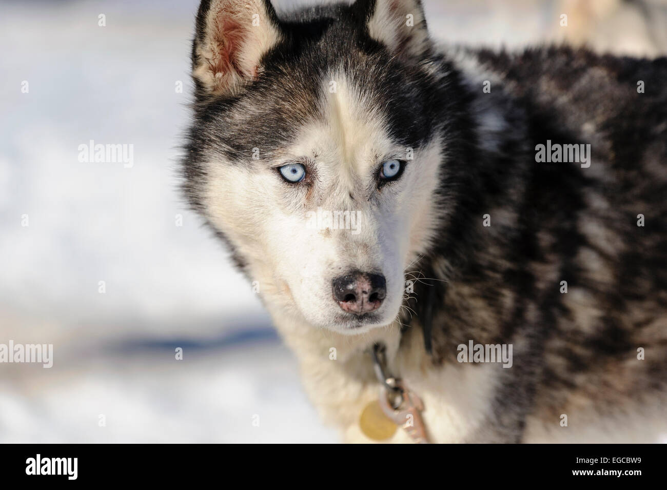 Blue Eyed Black White Male Siberian Husky Portrait At Stakeout