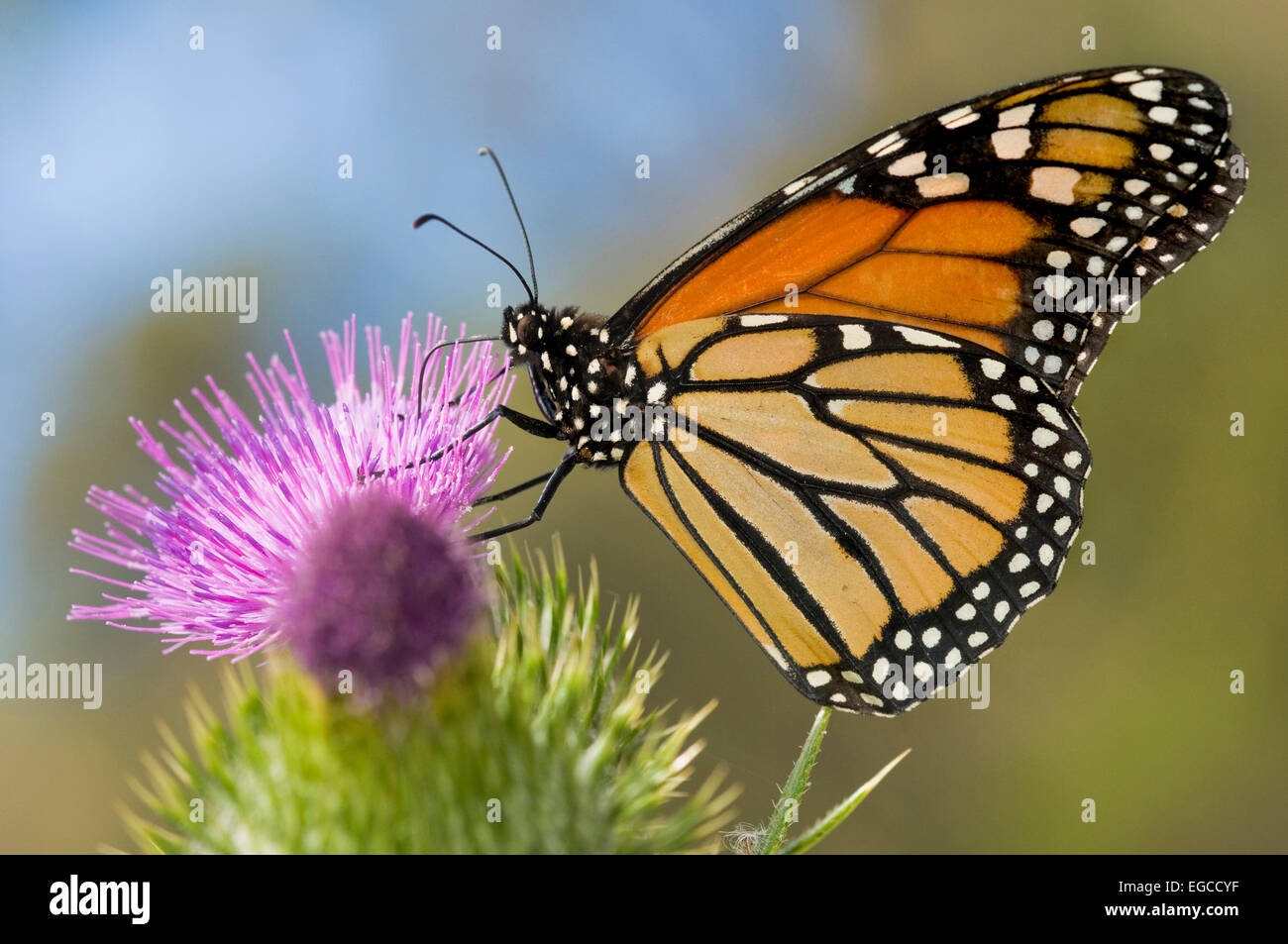 The monarch butterfly 'Danaus plexippus' belongs to the family Nymphalidae. It's considered to be the - Stock Image