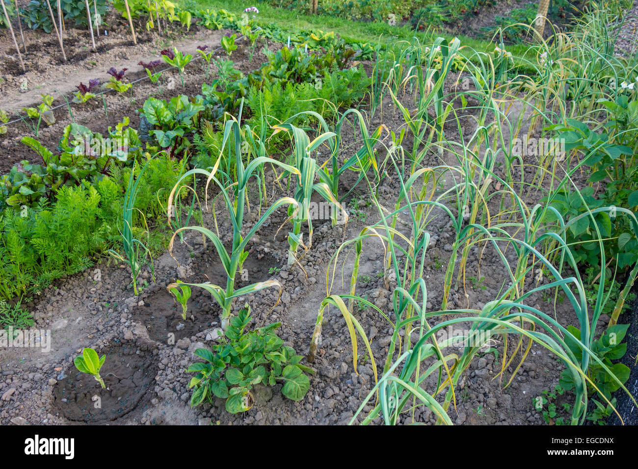 Tidy Allotment Patch Plot Home Grown Vegetables - Stock Image