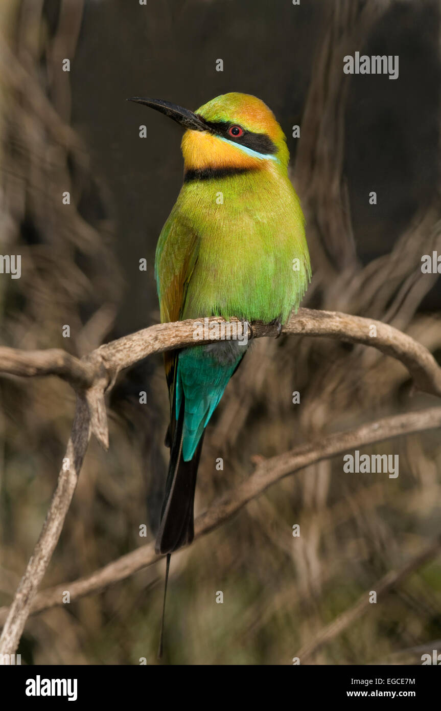 The Rainbow Bee-eater, 'Merops ornatus', is a bird in the 'Meropidae' family; the only species of - Stock Image