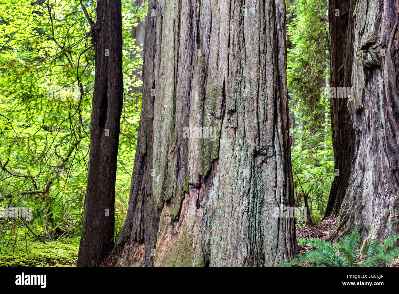 Giant redwood trees. Jedediah Smith Redwoods State Park, California, United States. - Stock Image