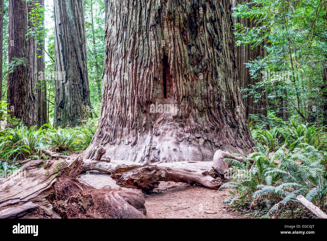Giant redwood trees. Jedediah Smith Redwoods State Park, California, United States. Stock Photo