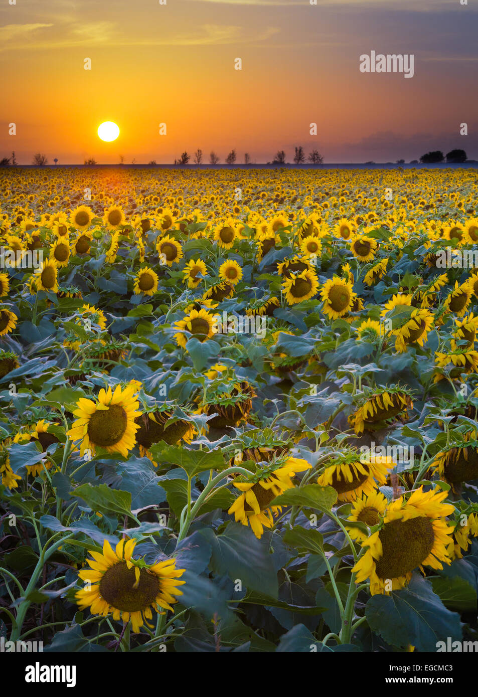 Sunflowers in Waxahachie in northern Texas - Stock Image