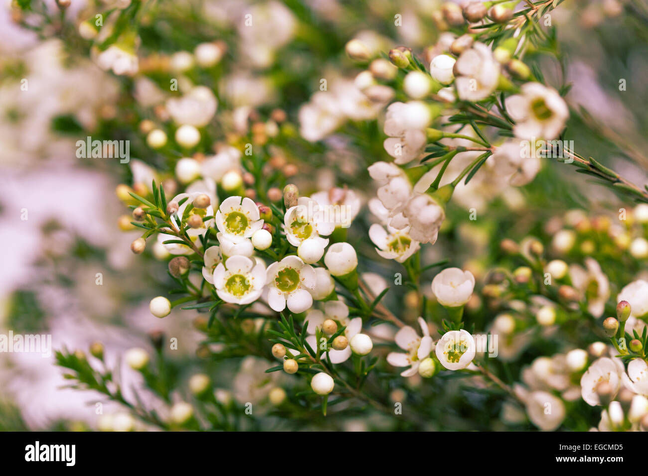 White Wax Flower In Natural Blured Background Stock Photo 78955441