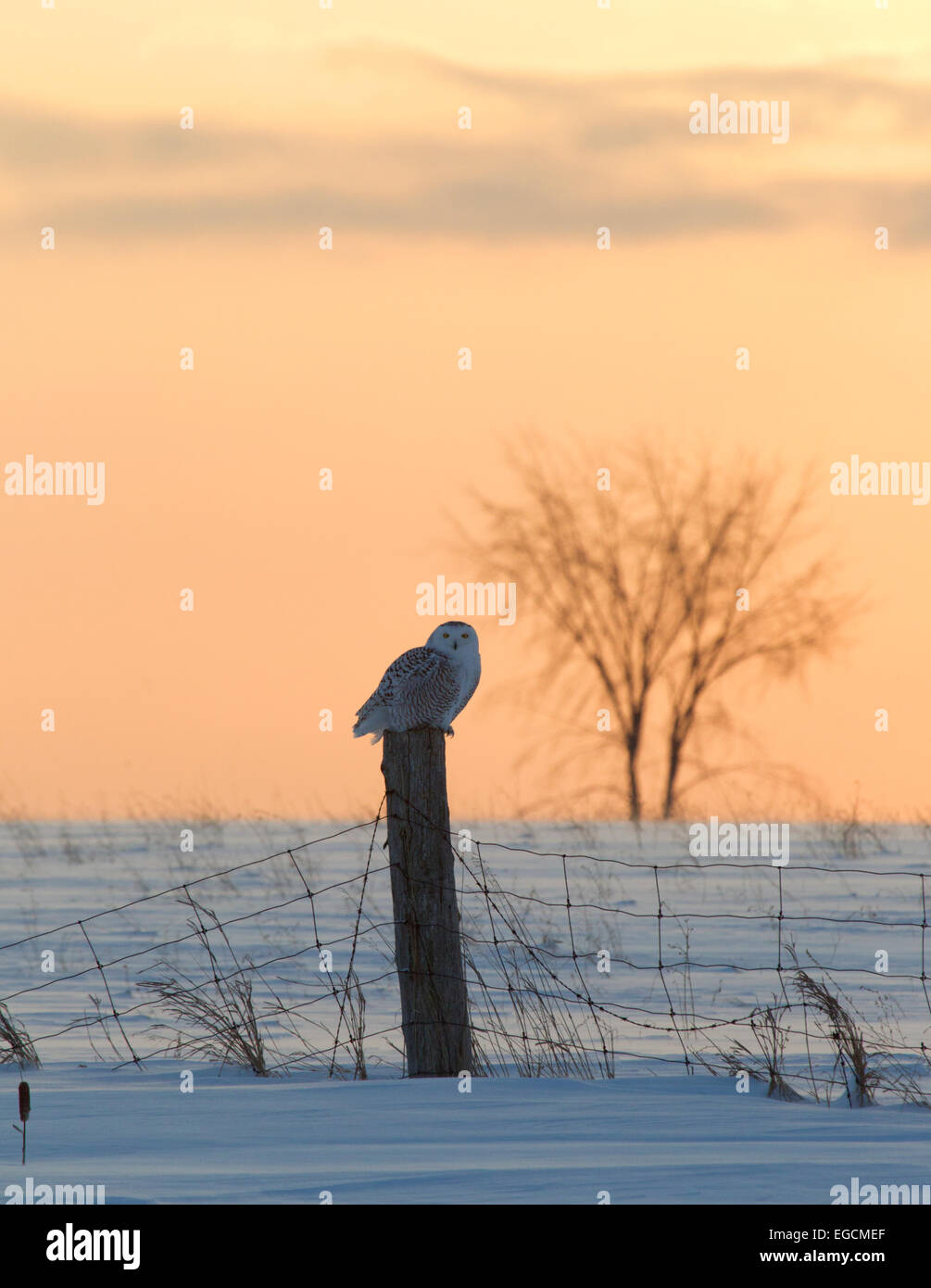 Snowy Owl Perched on Fence Post Sunrise - Stock Image