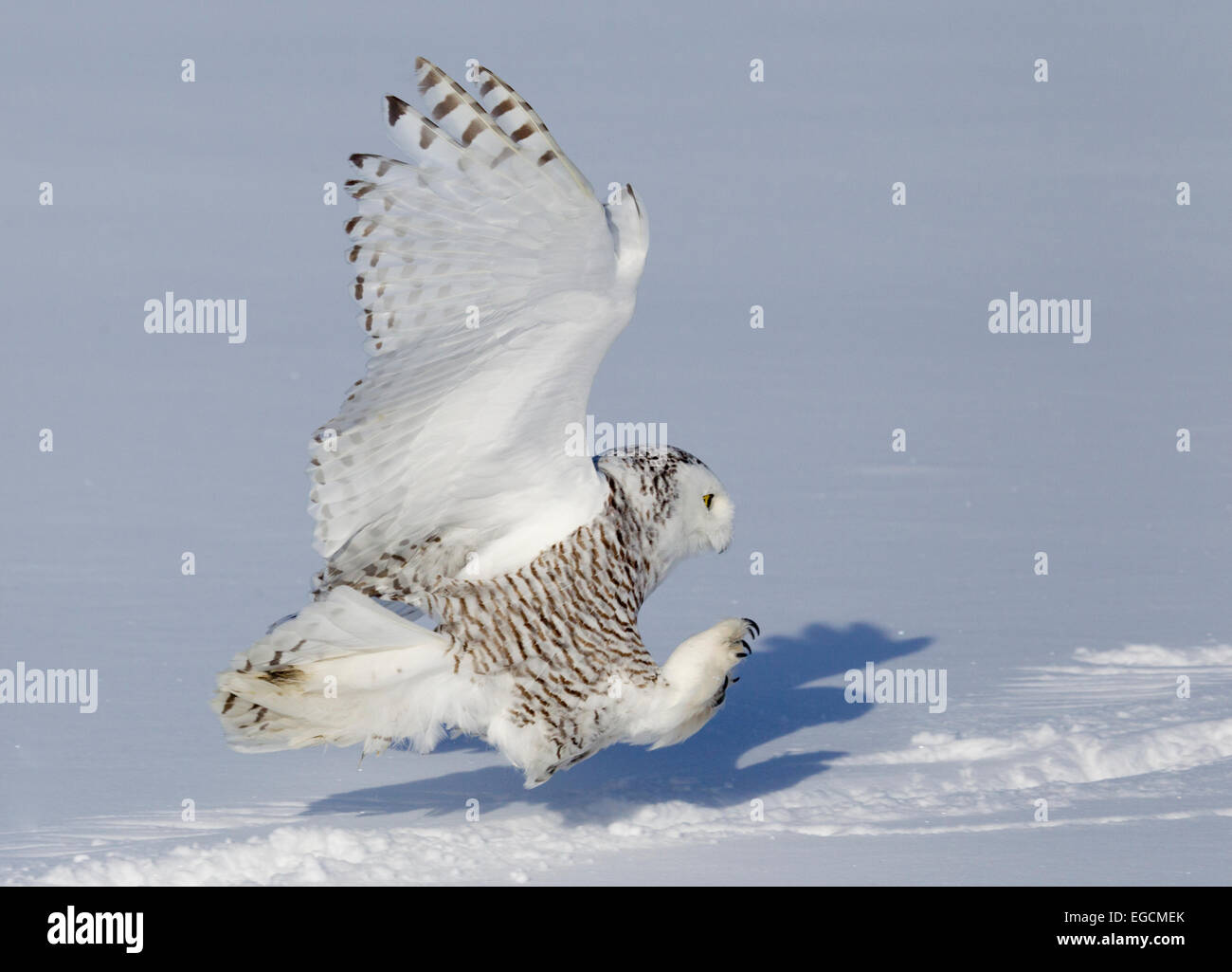 Snowy Owl on Final Approach - Stock Image