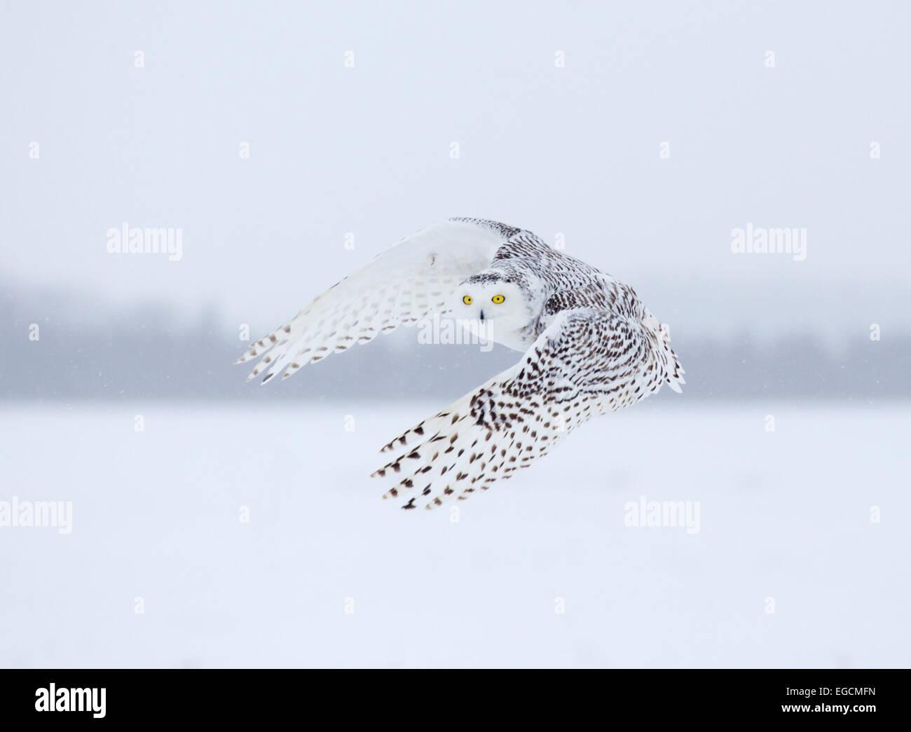Snowy Owl in Flight - Stock Image