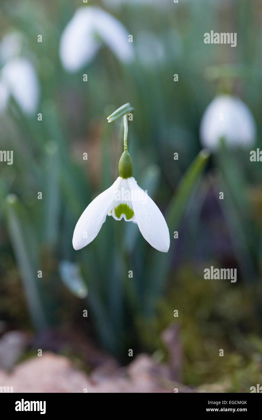 Galanthus Galatea flower. Snowdrops in the garden. - Stock Image