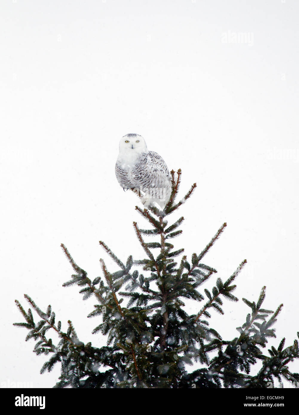 Snowy Owl Perched in the Top of a Pine Tree - Stock Image
