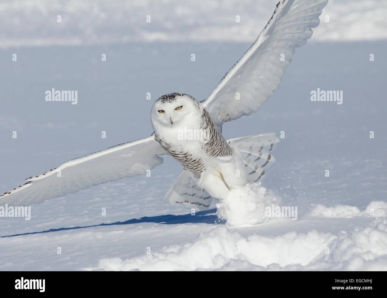 Snowy Owl Striking Prey in Snow - Stock Image