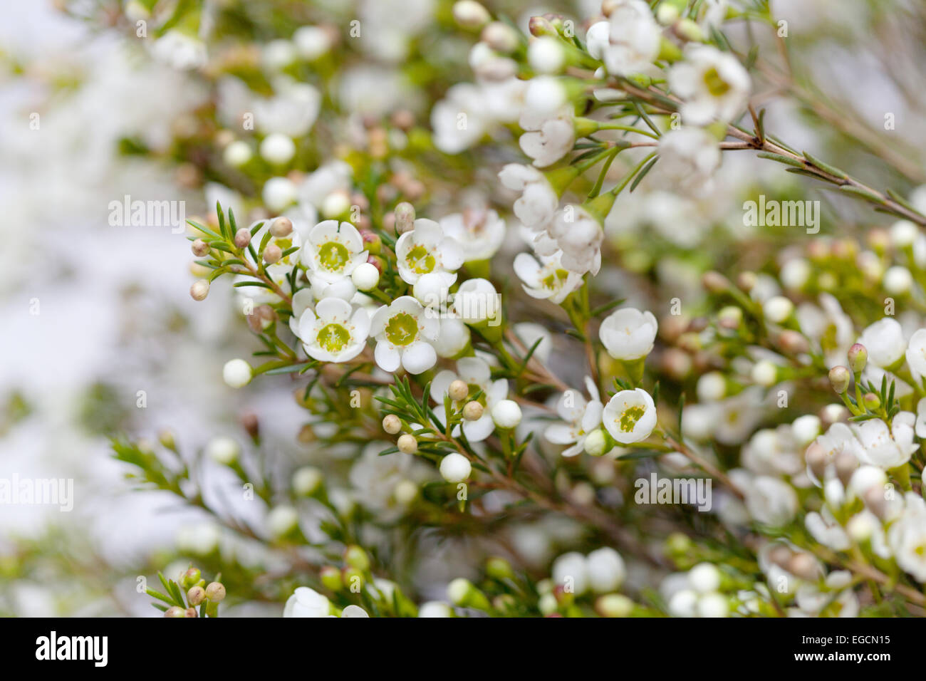 Chamelaucium Waxflower Stock Photos Chamelaucium Waxflower Stock